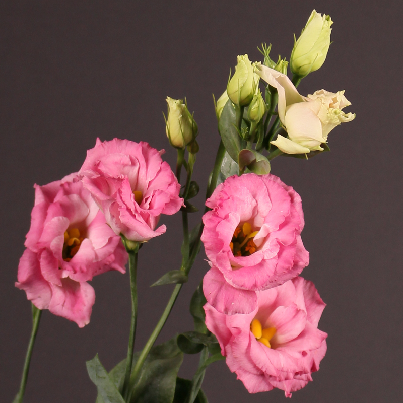 Lisianthus Arena Pink Flash