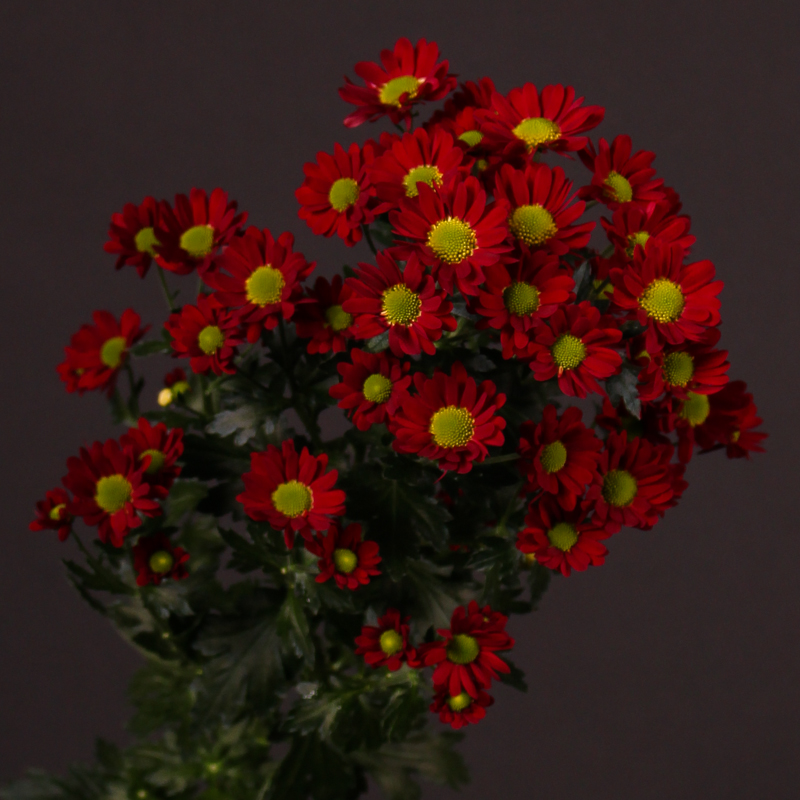 Chrysanthemum Madiba®dungu Red
