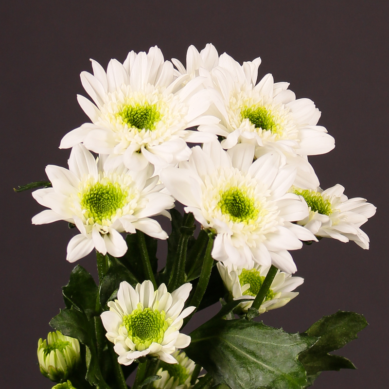 Chrysanthemum  Java