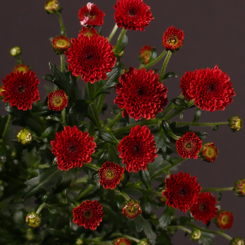 Chrysanthemum Calimero Red