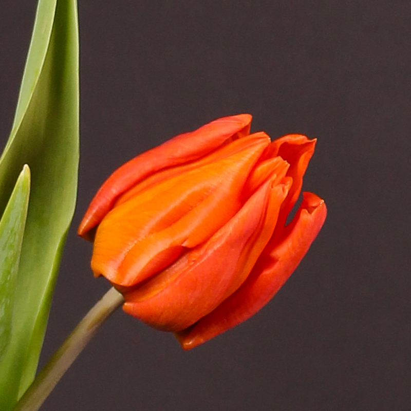 Tulip Orange Dream