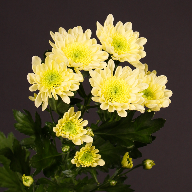 Chrysanthemum Radost Cream