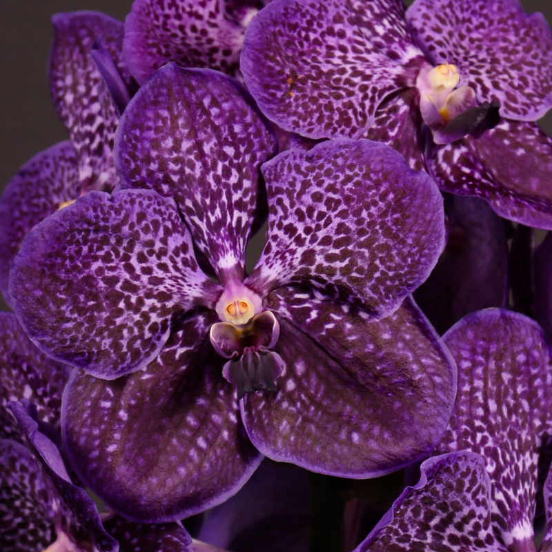 Vanda Sunanda Midnight Blue