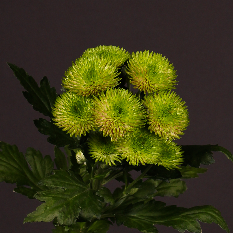 Chrysanthemum Rhythm