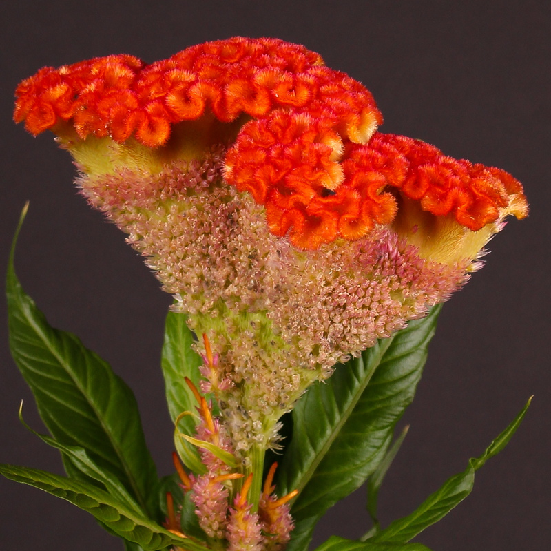 Celosia Extreme Orange