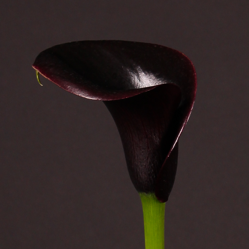 Zantedeschia Captain Nuria®