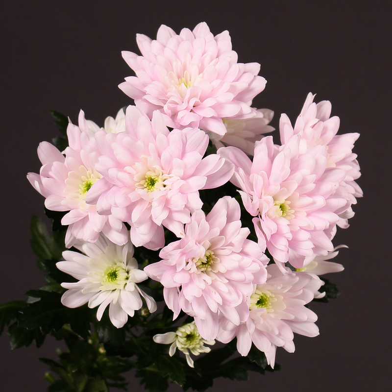 Chrysanthemum Baltica Pink