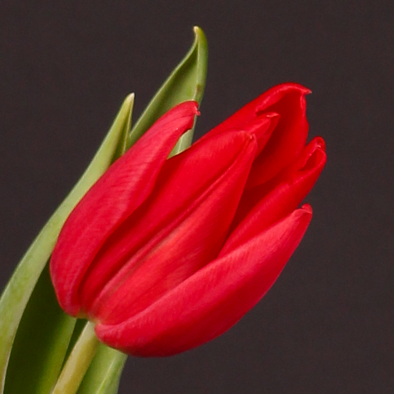 Tulip Firststar