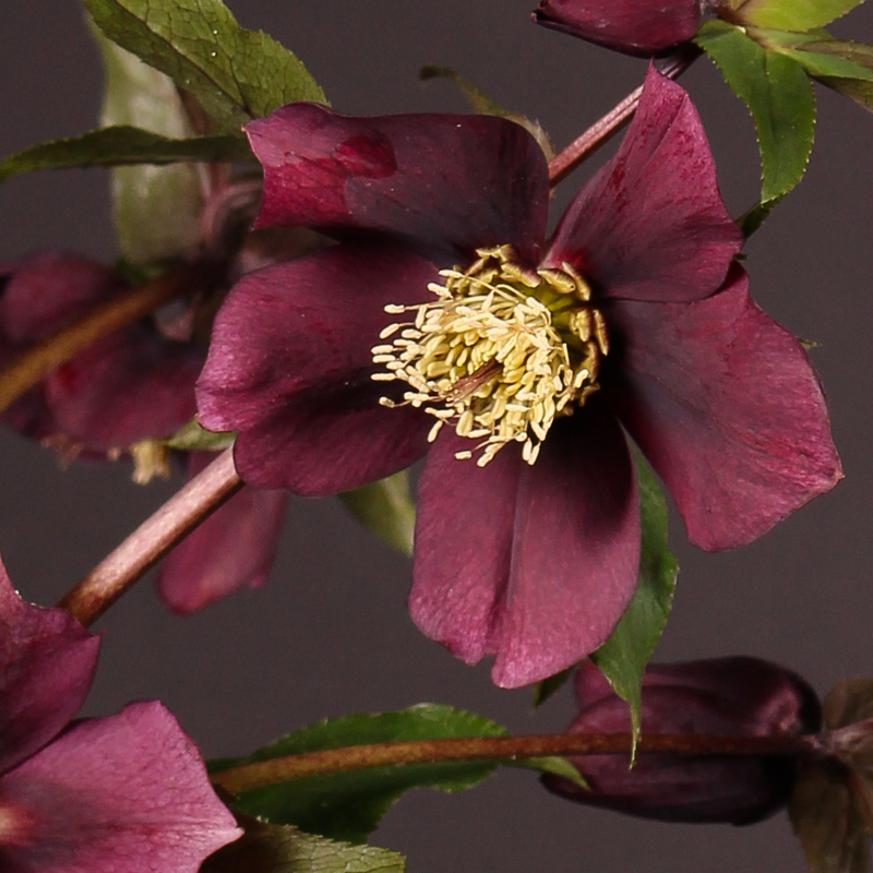Helleborus Queens Dark
