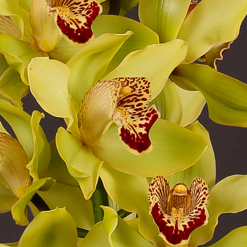 Cymbidium Julia