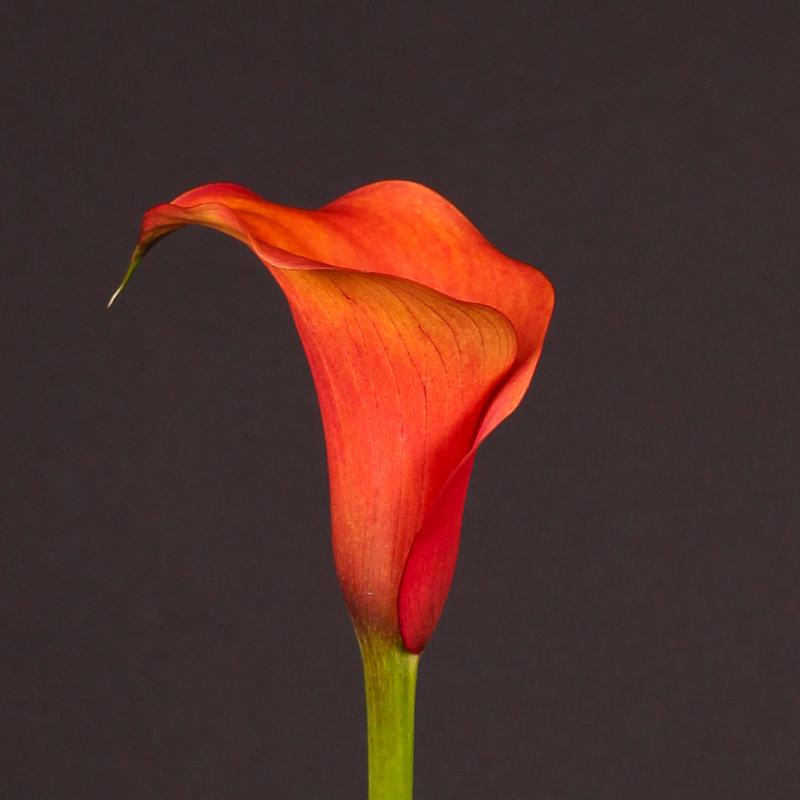 Zantedeschia Captain Odeon®