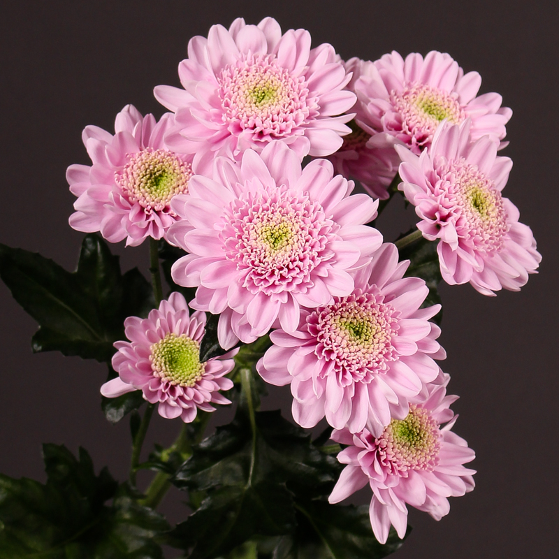 Chrysanthemum Optimist