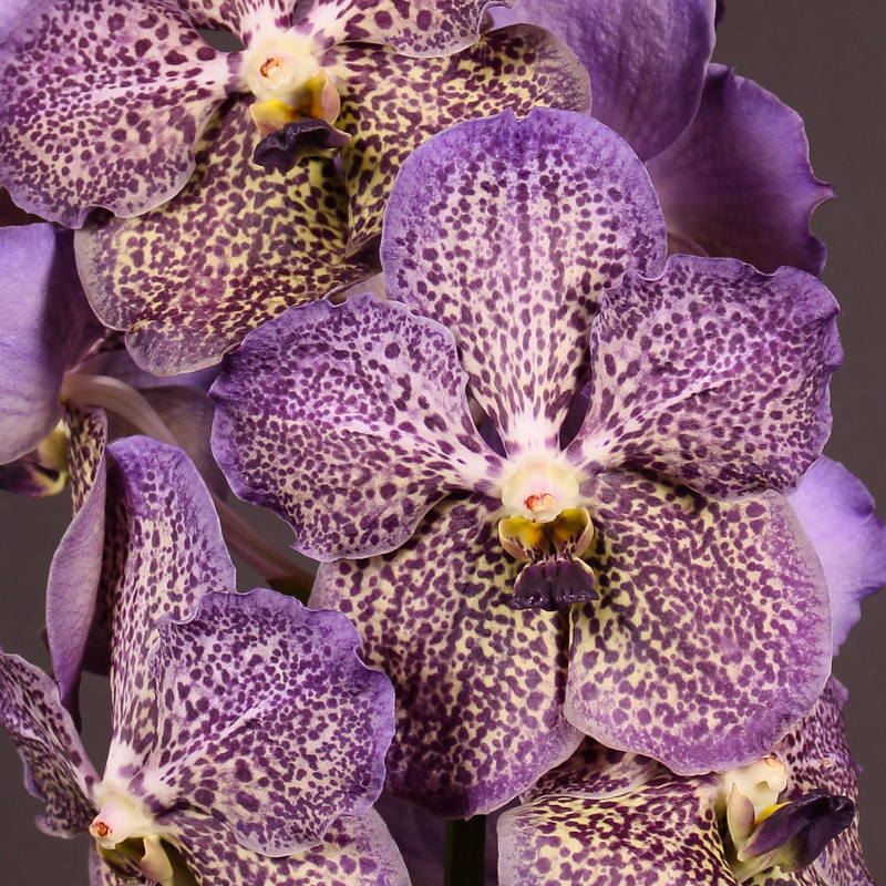 Vanda Sunanda Moonlight Blue