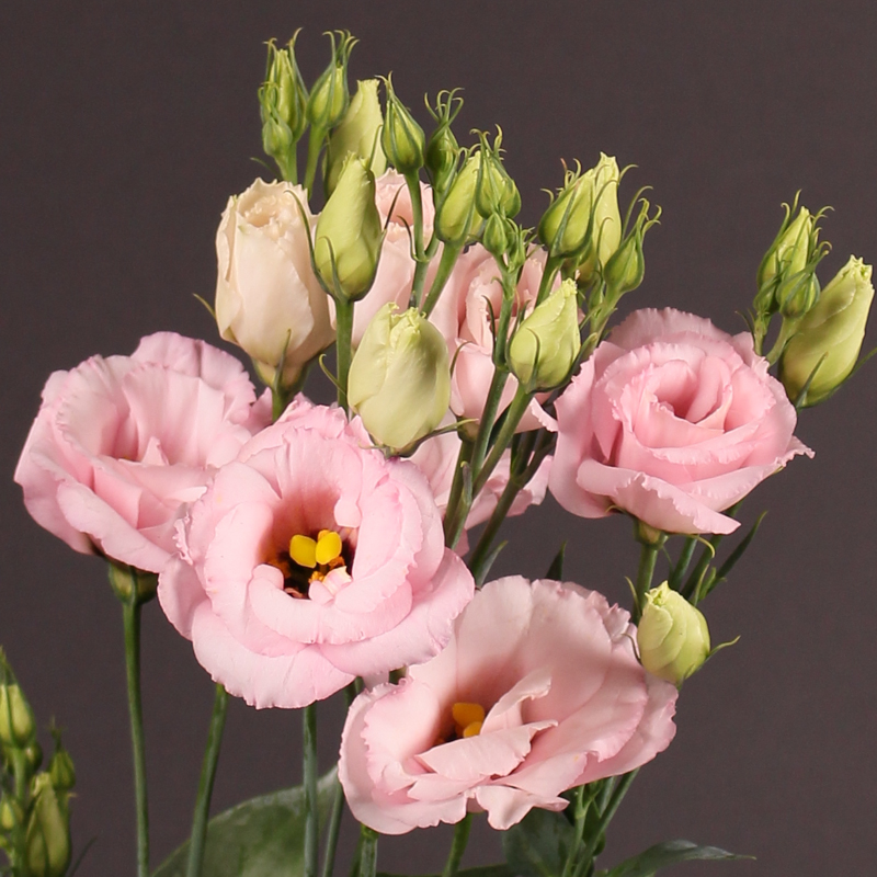 Lisianthus Arena Light Pink