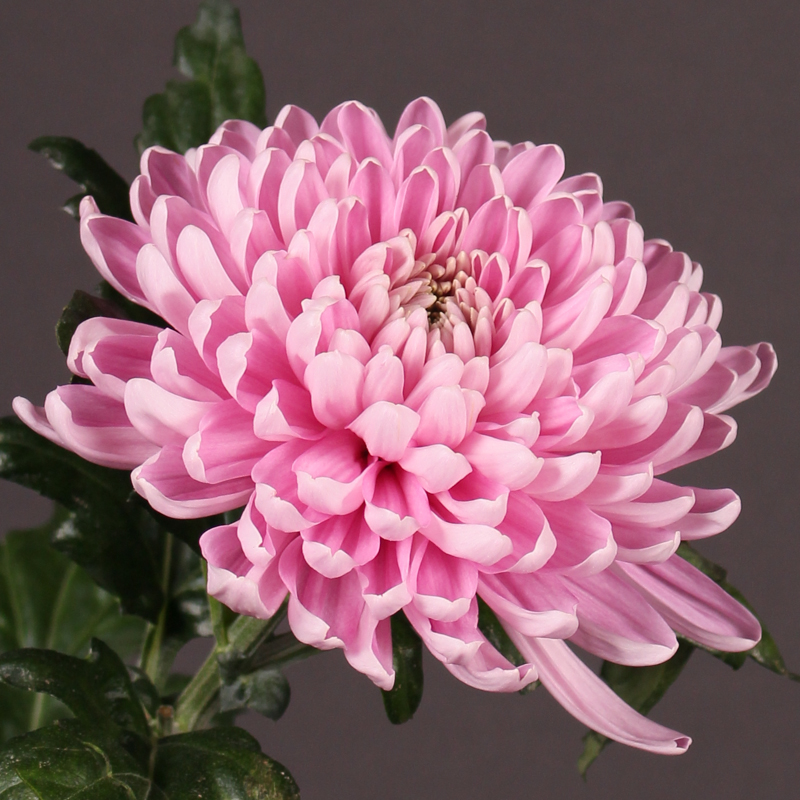 Chrysanthemum Rossano Dark