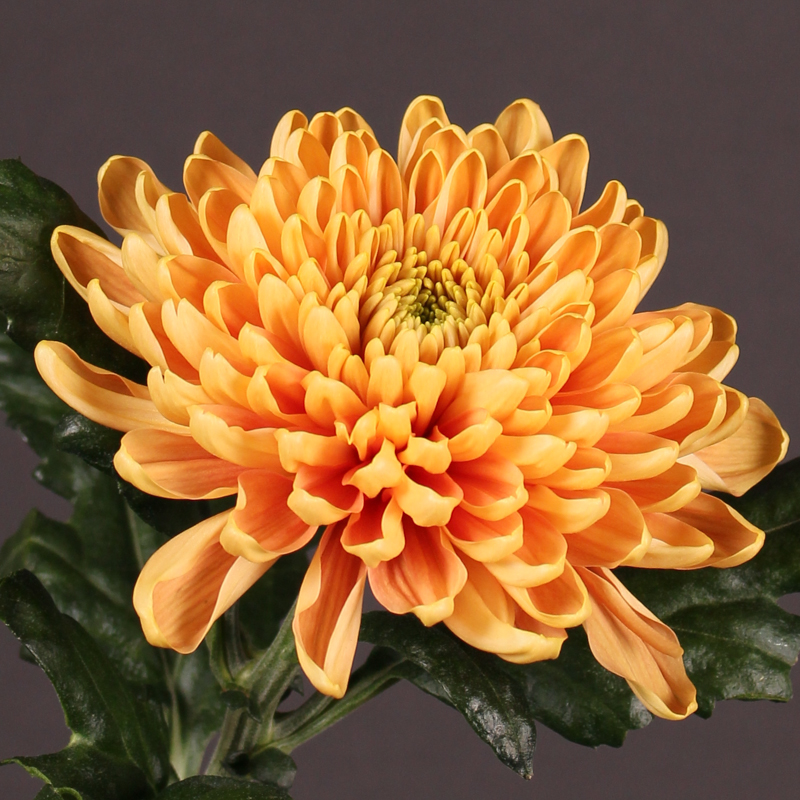 Chrysanthemum Rossano Orange