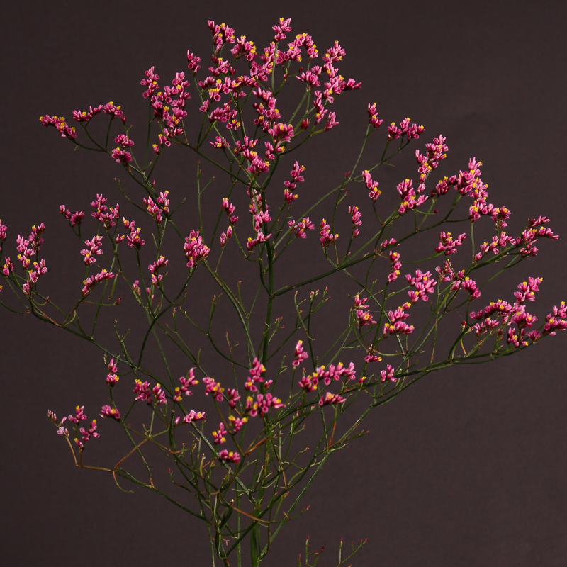 Limonium Princes Diamond