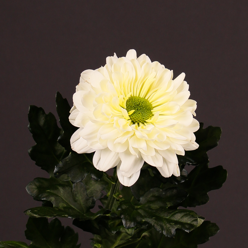Chrysanthemum Sheik