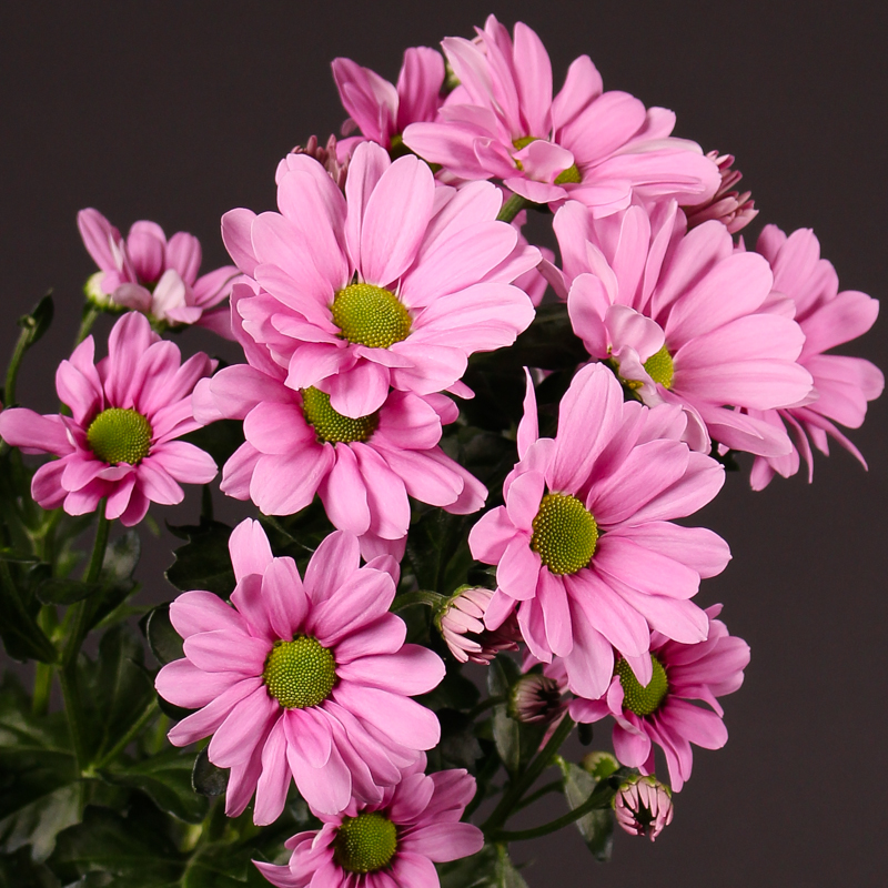 Chrysanthemum Morreno Pink