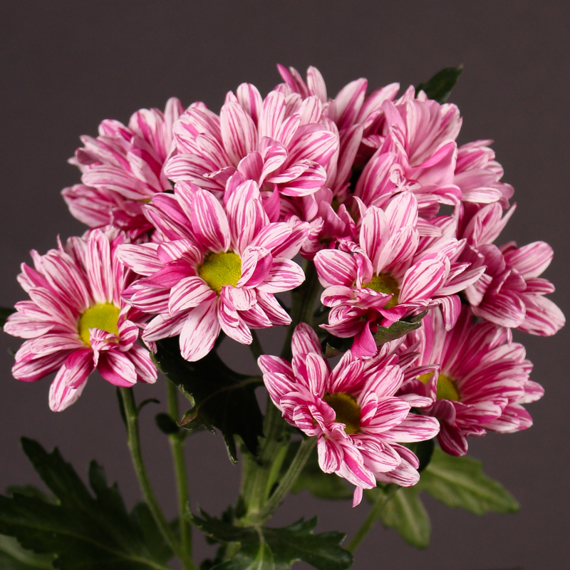 Chrysanthemum Stylist Pink