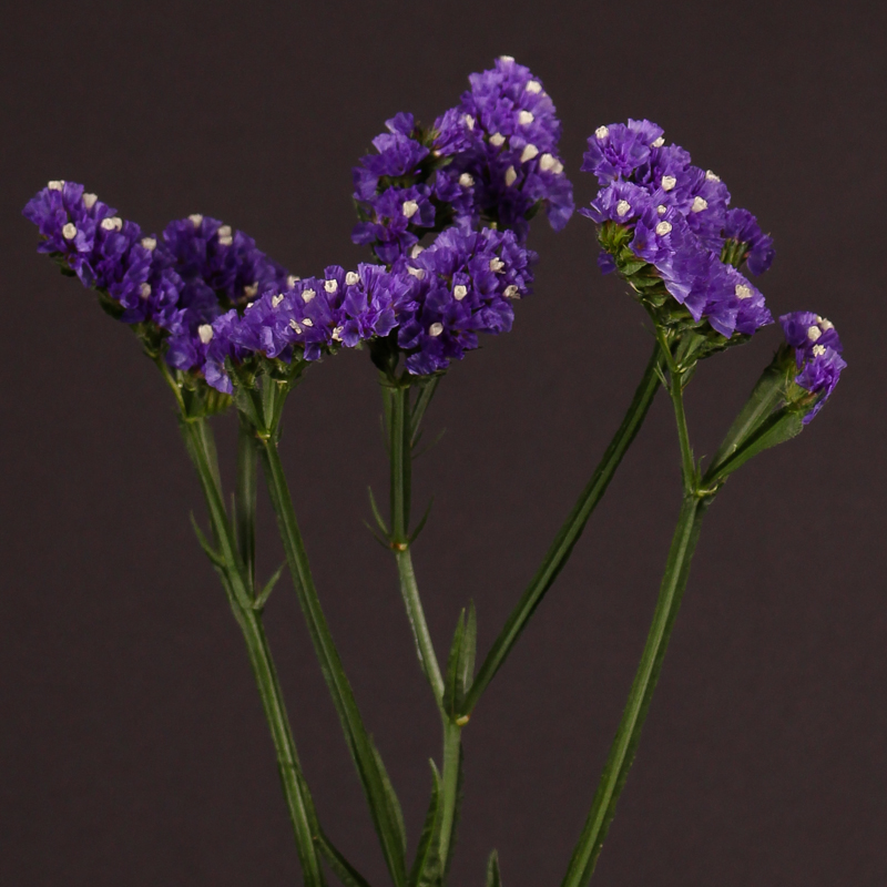 Limonium Crystal Dark Blue