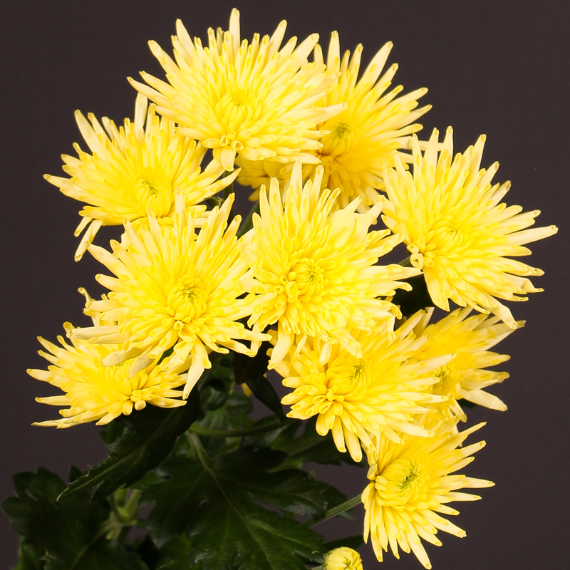 Chrysanthemum Carolle Yellow