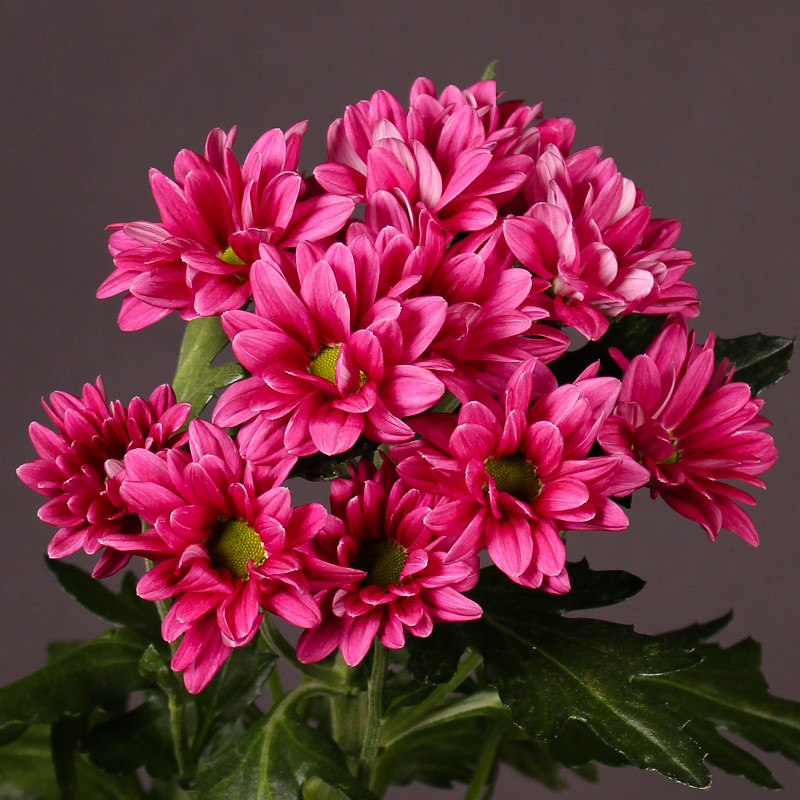 Chrysanthemum Stylist Purple