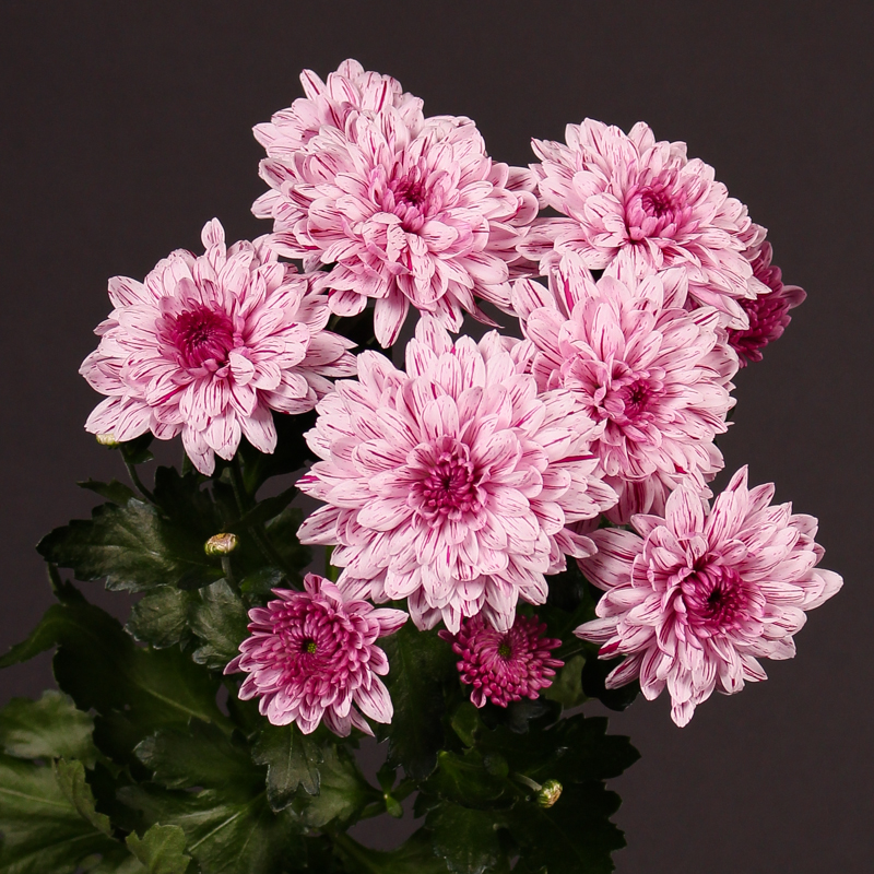 Chrysanthemum Spray