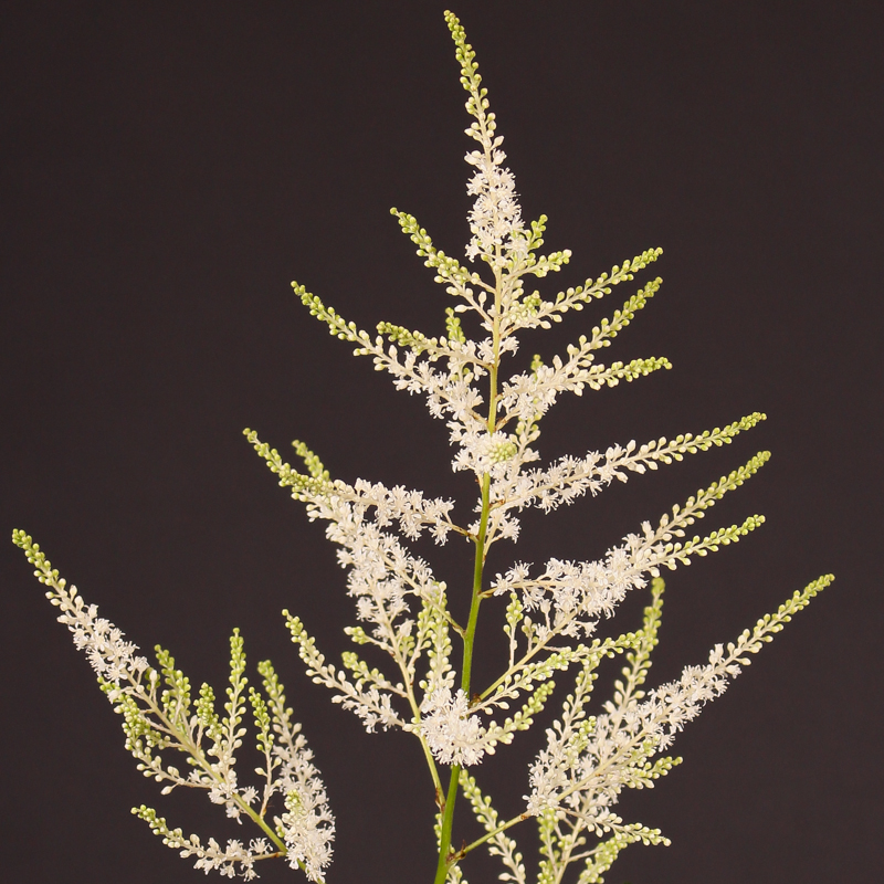 Astilbe Japonica Washington