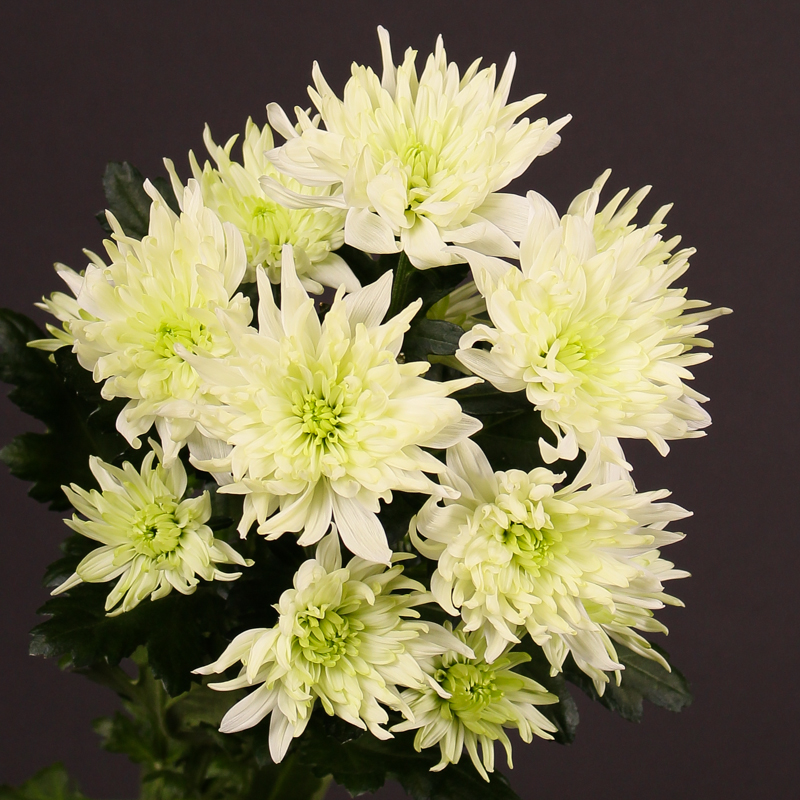 Chrysanthemum Baltica Lime