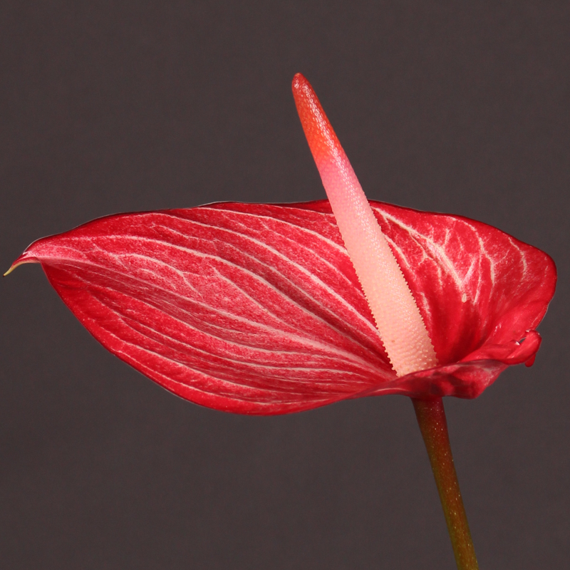 Anthurium Singita
