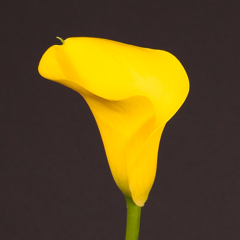 Zantedeschia Captain  Goldwin®