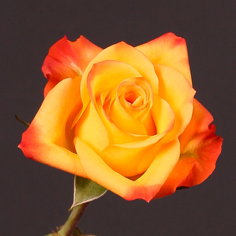 Rosa Orange Fantasy@