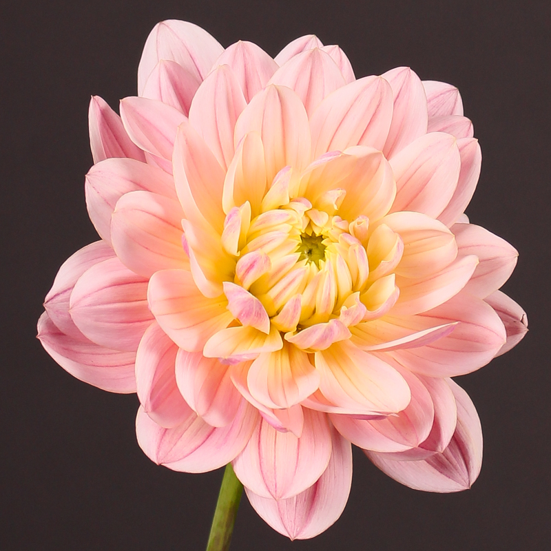 Dahlia Décor Pink Magic