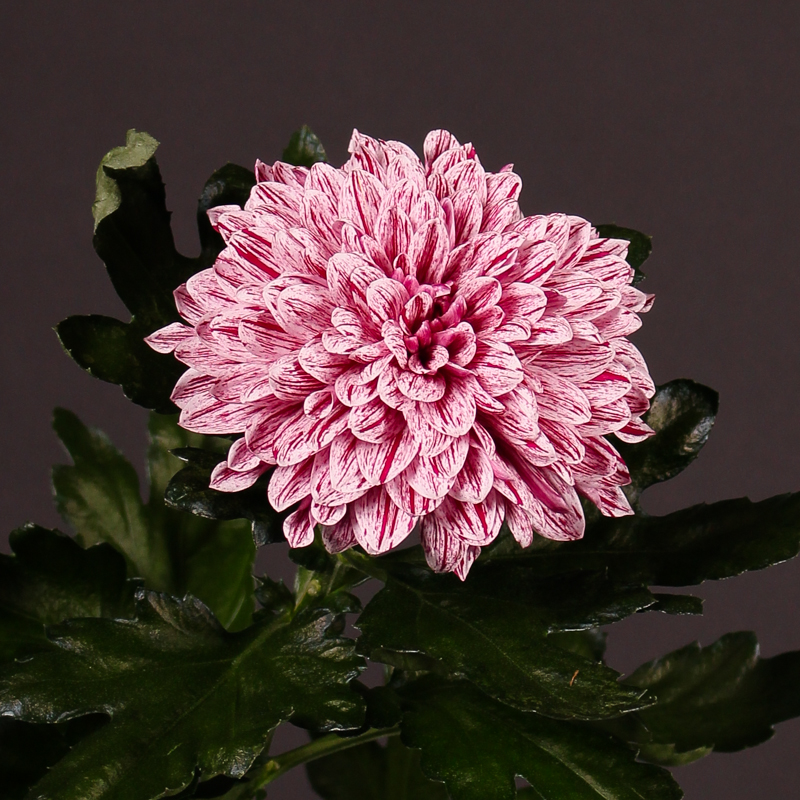 Chrysanthemum Pip