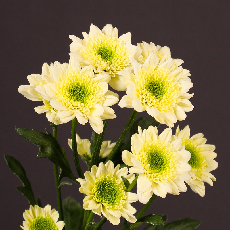 Chrysanthemum  Java Cream