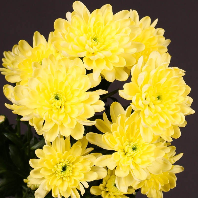 Chrysanthemum Baltica Cream