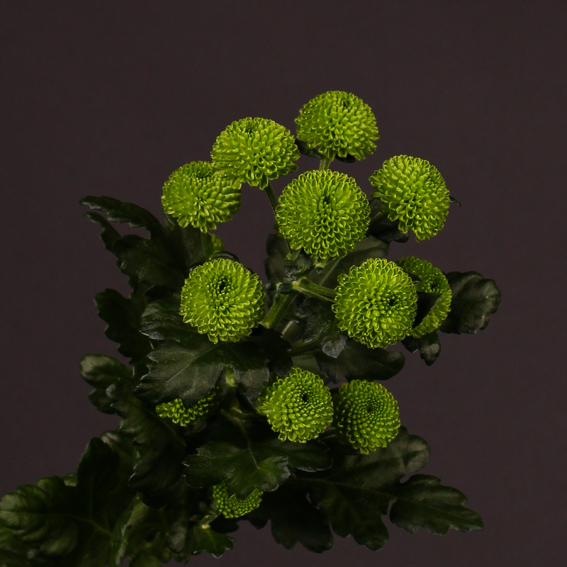Chrysanthemum Celtic