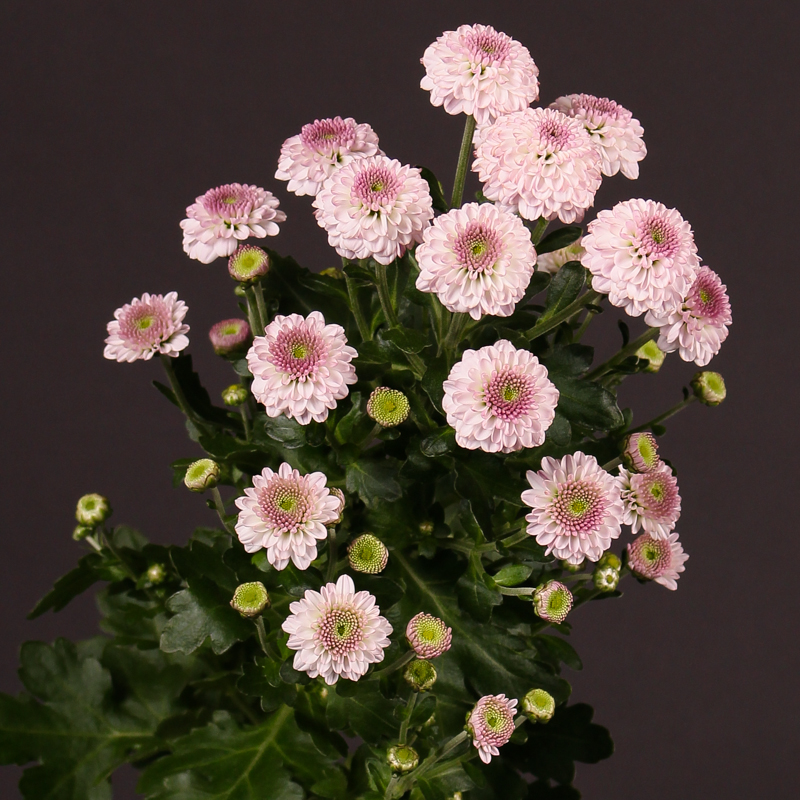 Chrysanthemum Pinky Rock