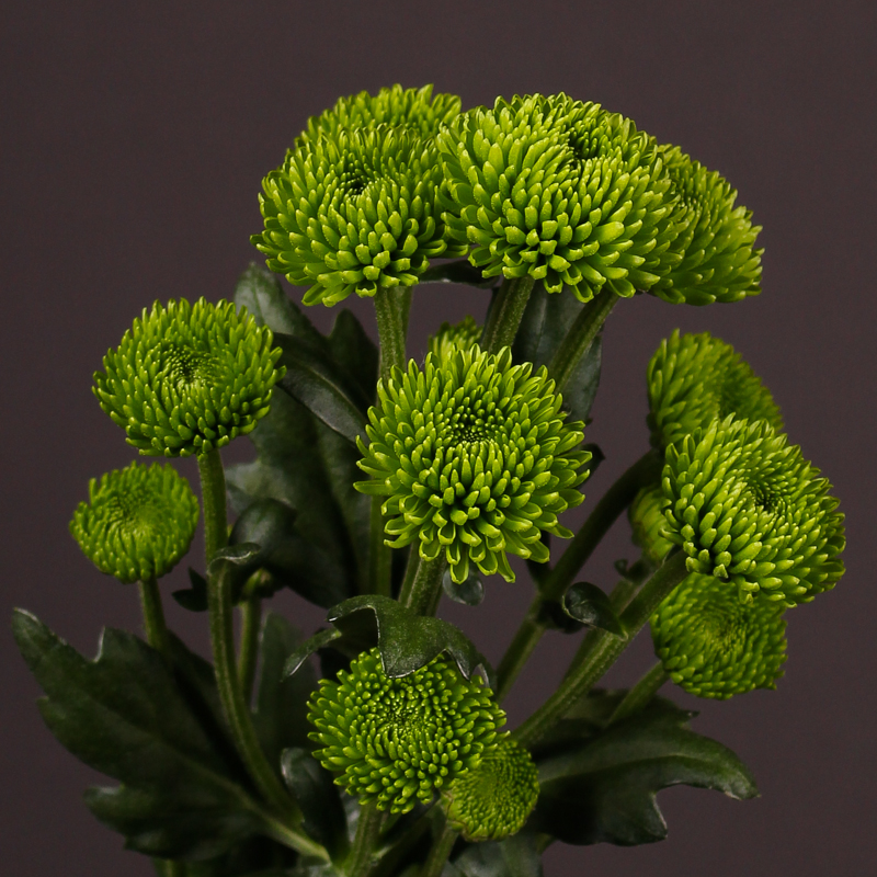 Chrysanthemum Palm Green Park