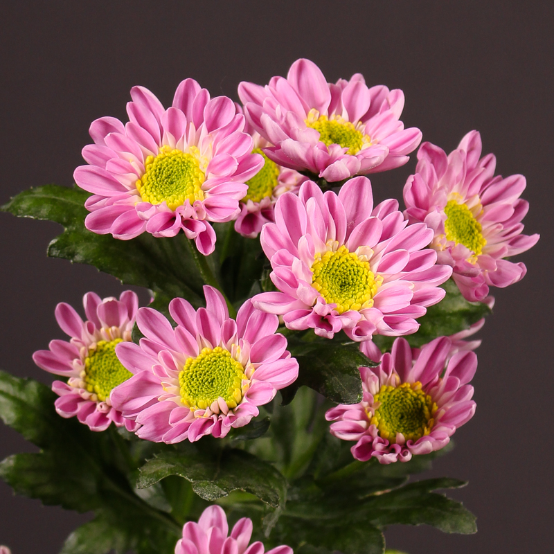 Chrysanthemum  Java Pink