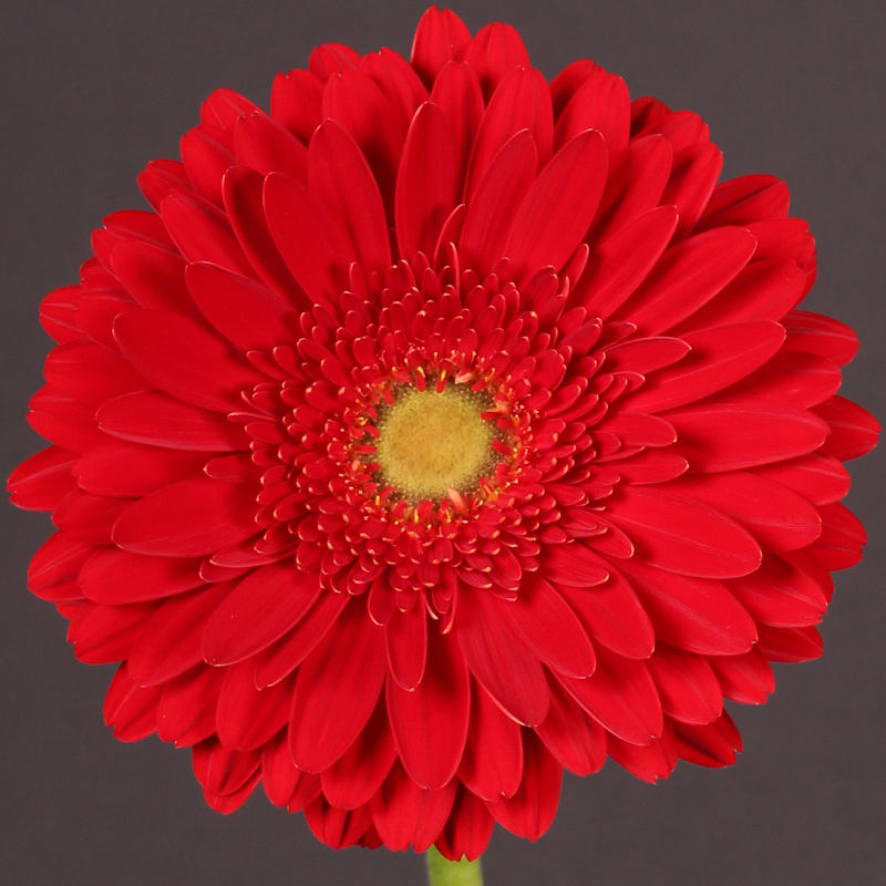 Gerbera Brunello