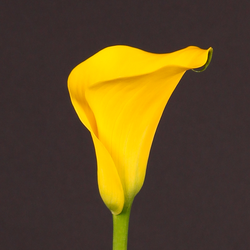 Zantedeschia Captain Solo®