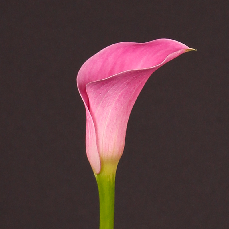 Zantedeschia Captain  Arosa®