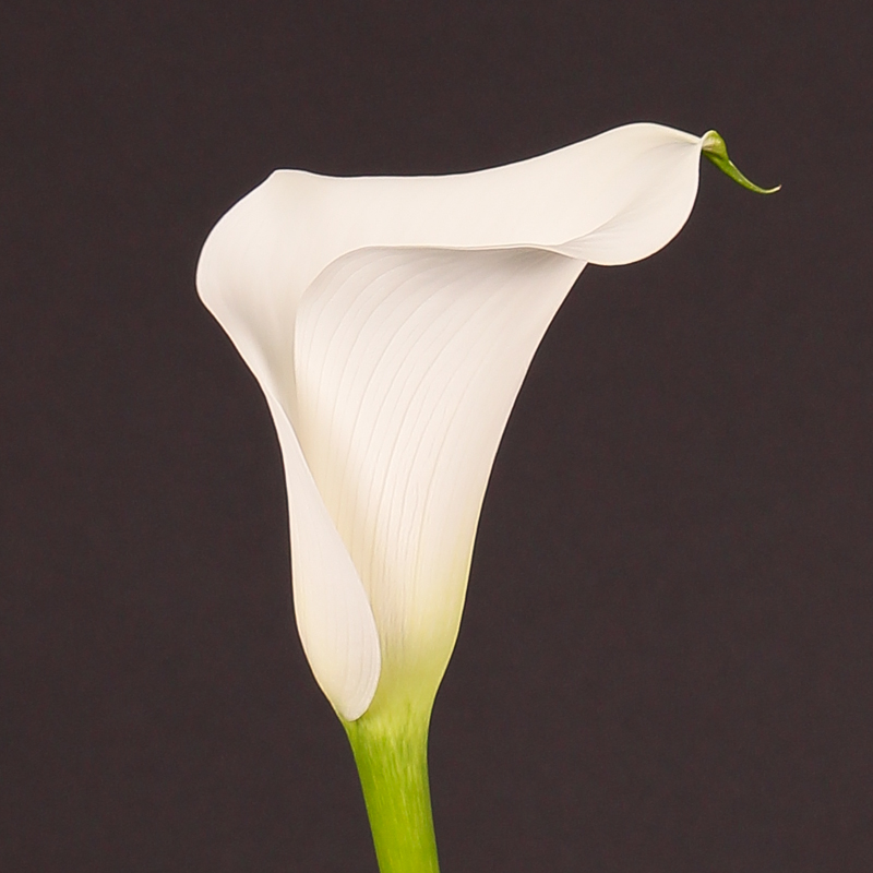 Zantedeschia Captain Kelso®