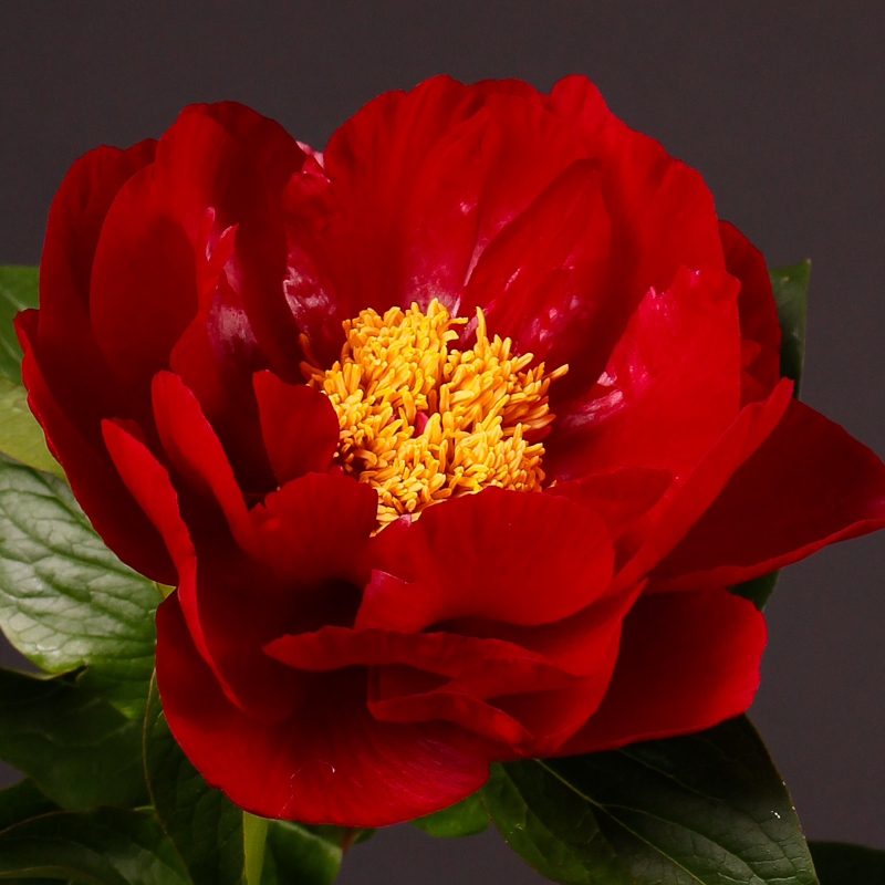 Paeonia Mackina Grand