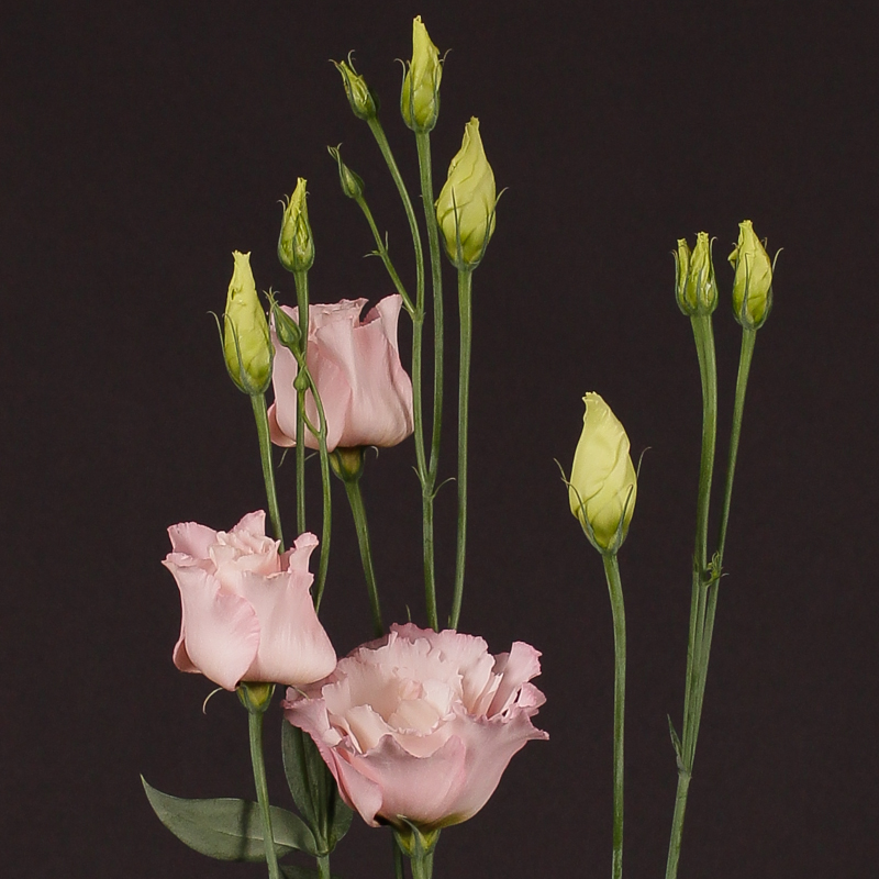 Lisianthus Corelli Light Pink