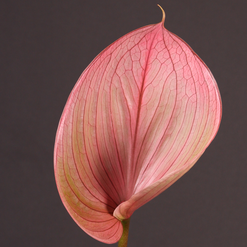 Anthurium Scoop