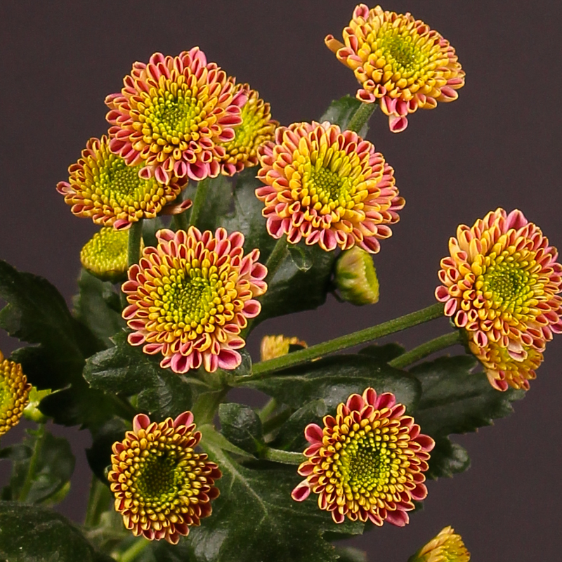 Chrysanthemum Bautista Dark
