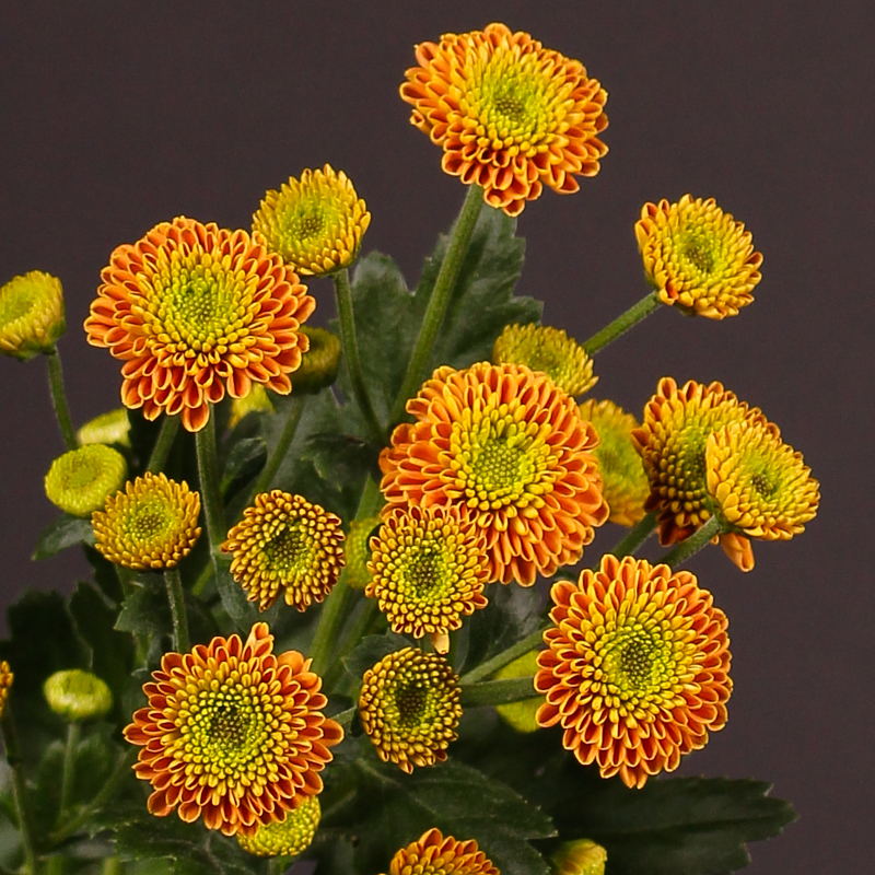 Chrysanthemum Bautista Orange